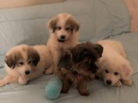 Great Pyrenees Puppies for sale in Duluth, GA 30097, USA. price: NA