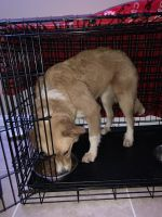 Great Pyrenees Puppies for sale in Greenville, SC, USA. price: NA