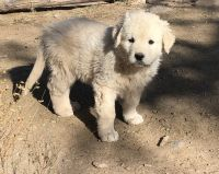 Great Pyrenees Puppies for sale in Eagar, AZ, USA. price: NA