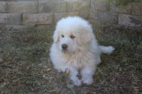 Great Pyrenees Puppies for sale in Arizona City, AZ 85123, USA. price: NA