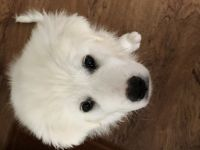 Great Pyrenees Puppies for sale in Wilmington, NC, USA. price: NA