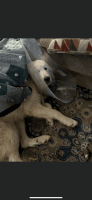 Great Pyrenees Puppies for sale in Gresham, OR, USA. price: NA
