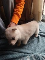 Great Pyrenees Puppies for sale in New Waterford, OH 44445, USA. price: NA