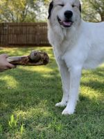 Great Pyrenees Puppies for sale in Weatherford, OK 73096, USA. price: NA