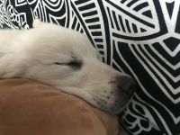 Great Pyrenees Puppies for sale in Centerville, UT, USA. price: NA