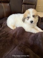 Great Pyrenees Puppies for sale in Ordway, CO 81063, USA. price: NA
