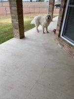 Great Pyrenees Puppies for sale in Topsey, TX 76522, USA. price: NA