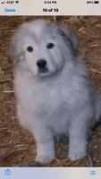 Great Pyrenees Puppies for sale in 5755 Cedar Ridge Trail, Cumming, GA 30028, USA. price: NA