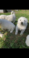 Great Pyrenees Puppies for sale in Detroit, MI, USA. price: NA