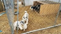 Great Pyrenees Puppies for sale in Greenback, TN 37742, USA. price: NA