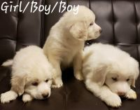 Great Pyrenees Puppies for sale in Muskogee, OK, USA. price: NA