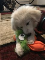 Great Pyrenees Puppies for sale in Jarrell, TX, USA. price: NA