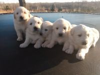 Great Pyrenees Puppies for sale in Schell City, MO 64783, USA. price: NA