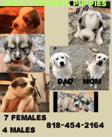 Great Pyrenees Puppies for sale in Acton, CA 93510, USA. price: NA