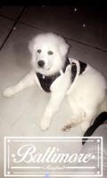 Great Pyrenees Puppies for sale in Baltimore, MD, USA. price: NA