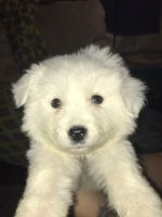Great Pyrenees Puppies for sale in Parsons, KS, USA. price: NA