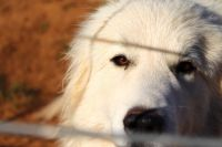 Great Pyrenees Puppies for sale in Salem, OR, USA. price: NA