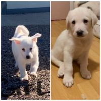 Great Pyrenees Puppies for sale in Mesa, AZ 85207, USA. price: NA