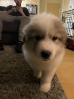 Great Pyrenees Puppies for sale in Grand Forks, ND, USA. price: NA
