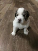 Great Pyrenees Puppies for sale in Ohatchee, AL 36271, USA. price: NA