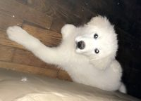 Great Pyrenees Puppies for sale in Knoxville, TN, USA. price: NA