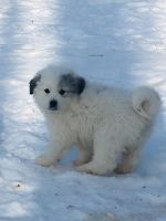 Great Pyrenees Puppies for sale in Federal Dam, MN 56641, USA. price: NA