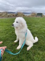 Great Pyrenees Puppies for sale in 7705 64th Pl NE, Marysville, WA 98270, USA. price: NA