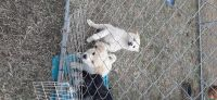 Great Pyrenees Puppies for sale in Amelia Court House, VA 23002, USA. price: NA