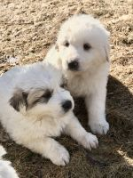 Great Pyrenees Puppies for sale in Entiat, WA 98822, USA. price: NA