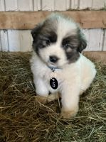 Great Pyrenees Puppies for sale in Hamilton, OH, USA. price: NA
