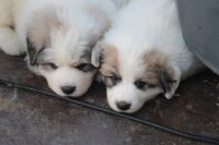 Great Pyrenees Puppies for sale in Anderson, CA 96007, USA. price: NA