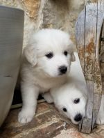 Great Pyrenees Puppies for sale in Highland Village, TX, USA. price: NA