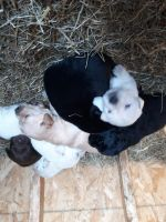 Great Pyrenees Puppies for sale in Pepin, WI 54759, USA. price: NA
