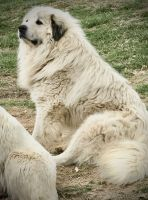 Great Pyrenees Puppies for sale in Ezel, KY 41425, USA. price: NA