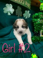 Great Pyrenees Puppies for sale in Alexandria, MN 56308, USA. price: NA