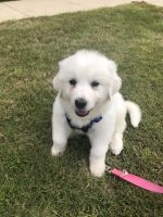 Great Pyrenees Puppies for sale in Lake Dallas, TX 75065, USA. price: NA