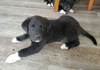 Great Pyrenees Puppies for sale in Norborne, MO 64668, USA. price: NA
