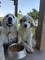 Great Pyrenees Puppies for sale in 29134 Riley Rd, Waller, TX 77484, USA. price: NA
