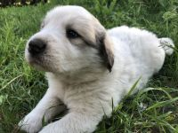 Great Pyrenees Puppies for sale in Aitkin, MN 56431, USA. price: NA