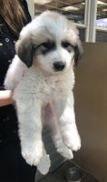 Great Pyrenees Puppies for sale in Iraan, TX 79744, USA. price: NA