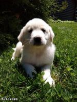 Great Pyrenees Puppies for sale in Buffalo, NY 14228, USA. price: NA