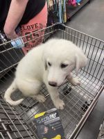 Great Pyrenees Puppies for sale in DeSoto, TX 75115, USA. price: NA