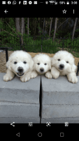 Great Pyrenees Puppies for sale in Guyton, GA 31312, USA. price: NA