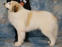 Great Pyrenees Puppies for sale in Seneca, SC, USA. price: NA