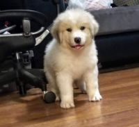 Great Pyrenees Puppies for sale in Springfield, MO 65803, USA. price: NA