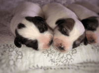Great Pyrenees Puppies for sale in Nabb, IN 47147, USA. price: NA