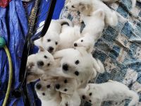 Great Pyrenees Puppies Photos
