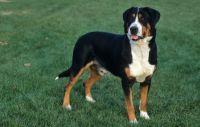 greater swiss mountain dog dog