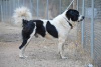 greek sheepdog dog
