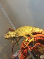 Green Iguana Reptiles Photos